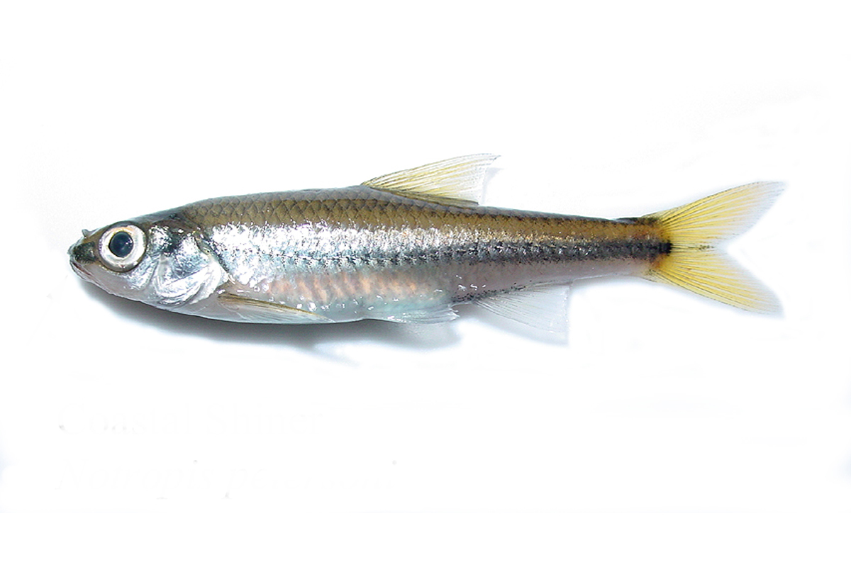 Black mouth shiner for Small silver fish