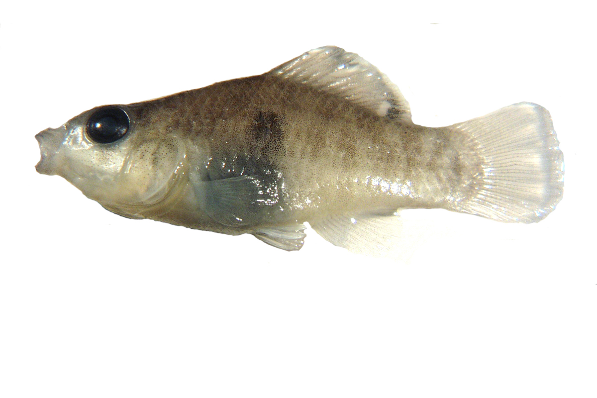 flagfish