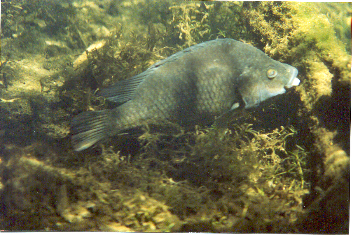 Freshwater fish of florida - Tilapia