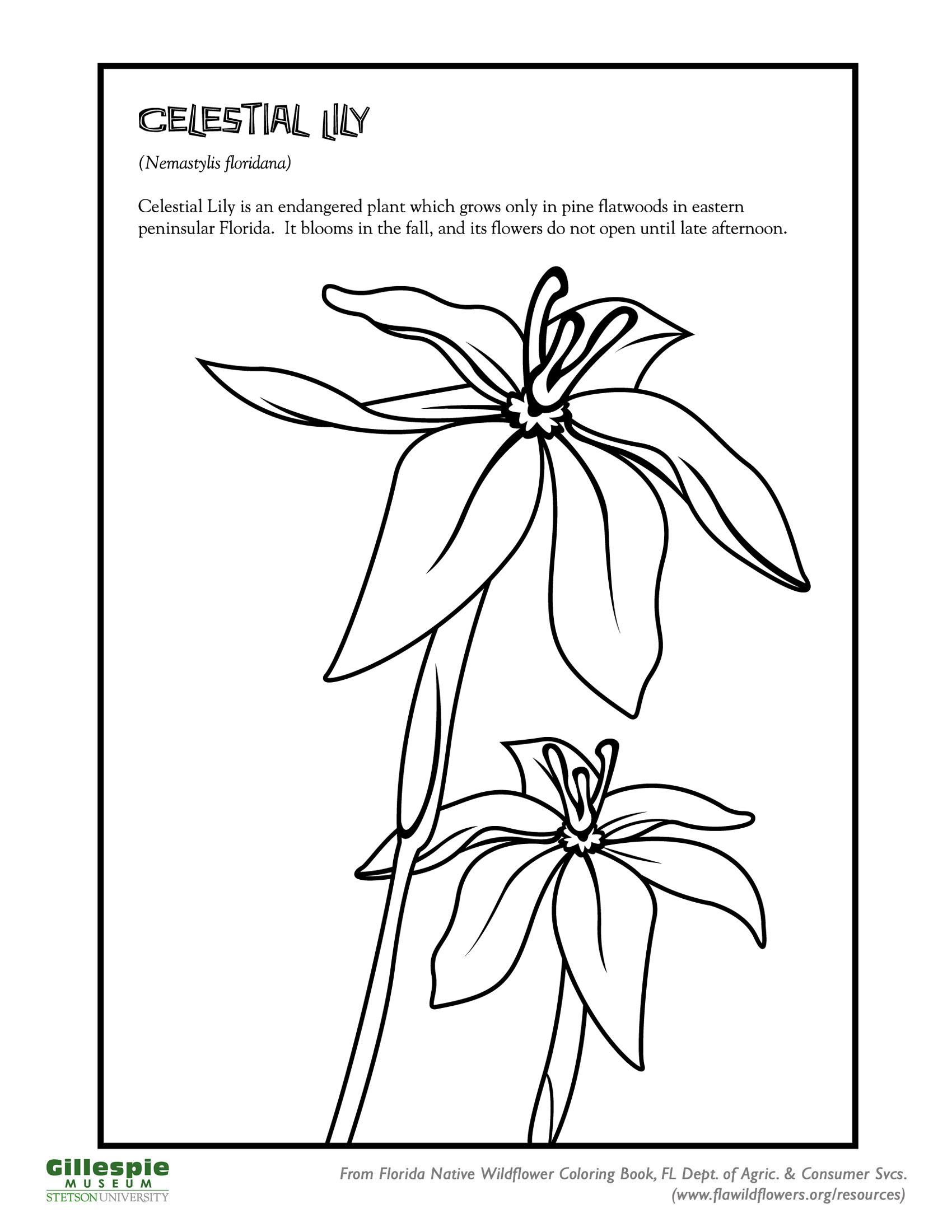 celestial lily
