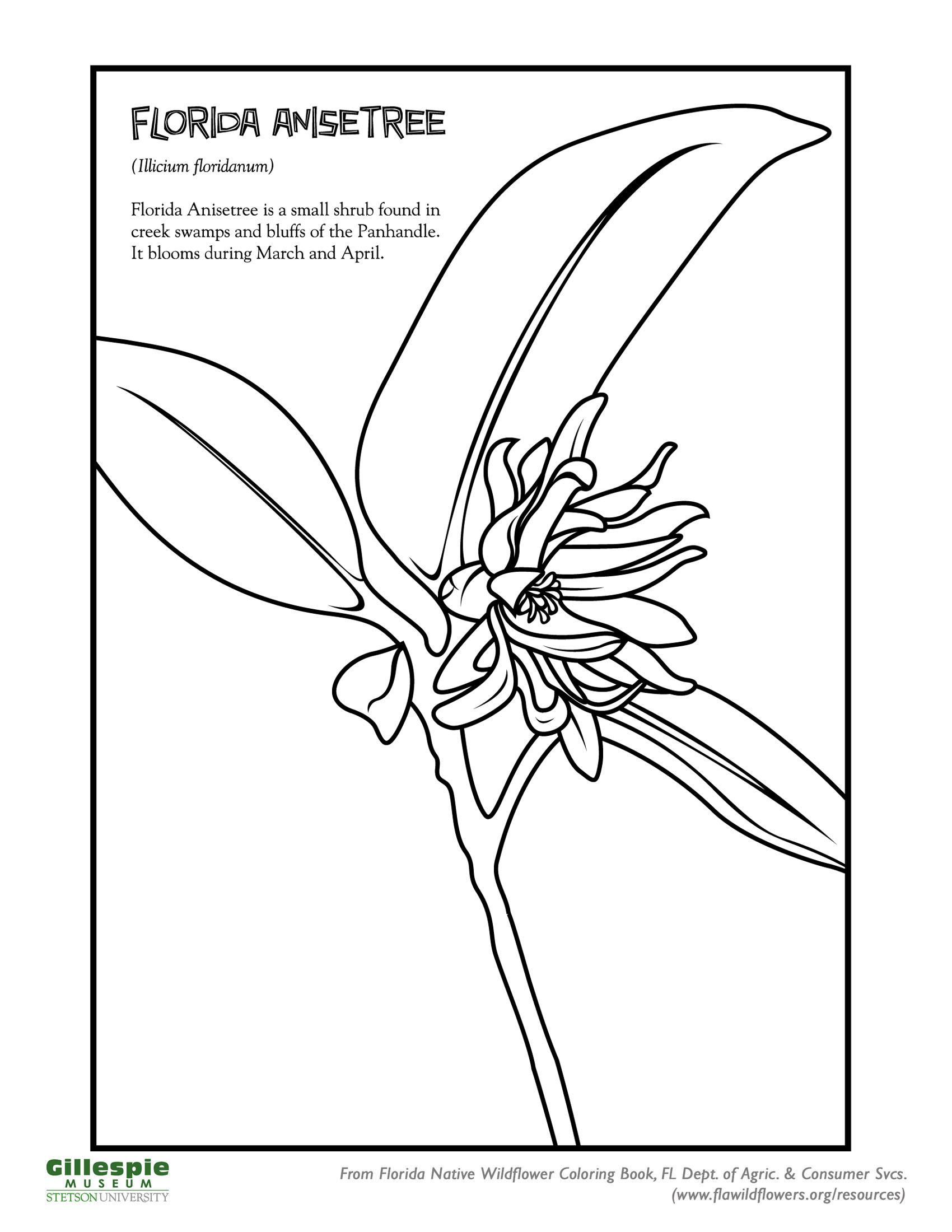 florida anisetree