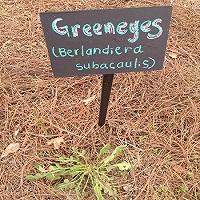 Green Eyes Plant