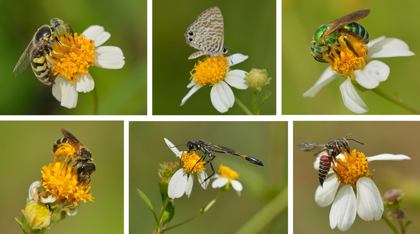 media/pollinators-spanish-needle.jpg