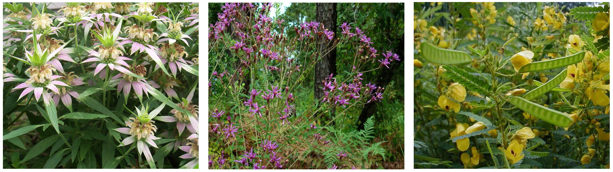 media/seed-library-florida-native-wildflowers-beebalm-ironweed-partridgepea.jpg