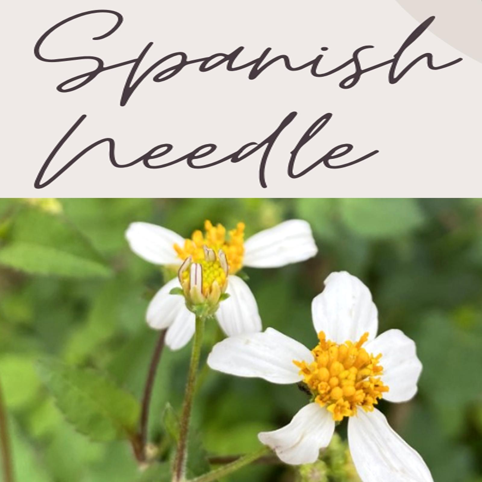 Spanish needle