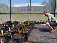A biology senior studies the effects of soil pH and soil microbes on seedling growth of three perennials in the Asteraceae family in a summer independent study.