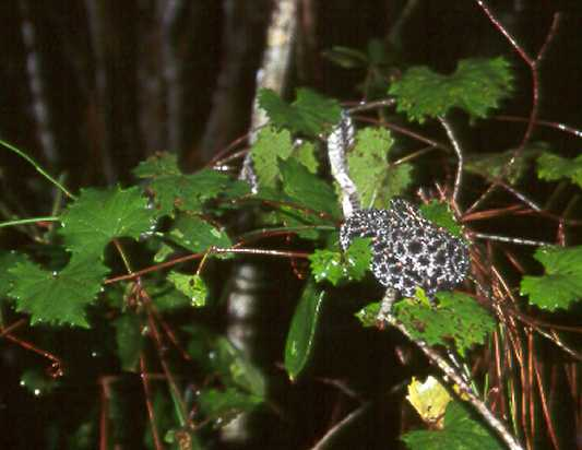 This pigmy climbed about four feet above the ground where it shed its skin in a mass of grape vines