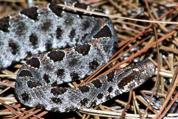 Pigmy rattlesnake from the Savannah River