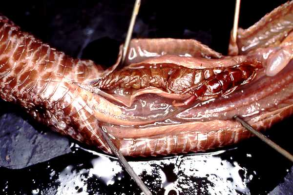 A dissected pigmy with a big centipede in its stomach.